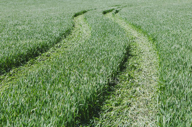 Tire tracks in green field of wheat, full frame. — Stock Photo