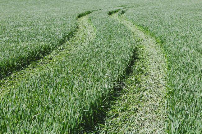 Pistas de neumático en el verde campo de trigo, el marco completo - foto de stock