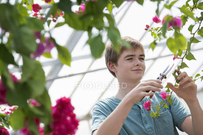 Teenage boy pruning branches with flowers in organic nursery greenhouse. — Stock Photo