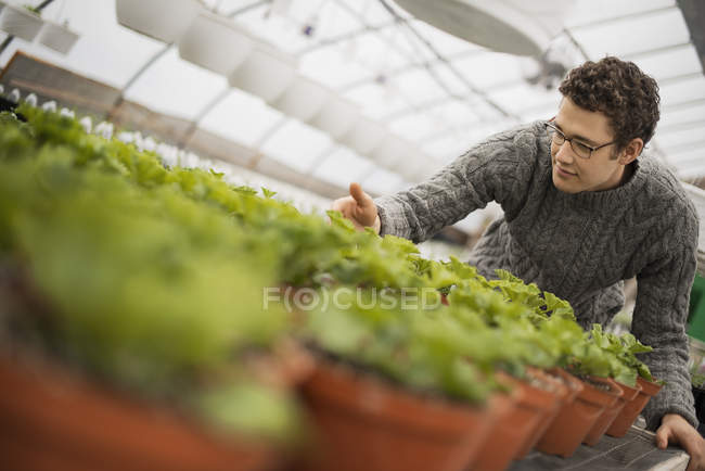 Man tending young plants in pots in greenhouse. — Stock Photo