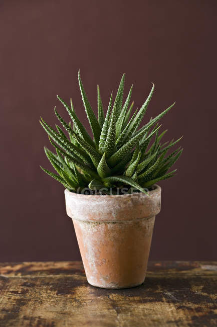 Succulent houseplant with spiky green leaves growing in pot. — Stockfoto