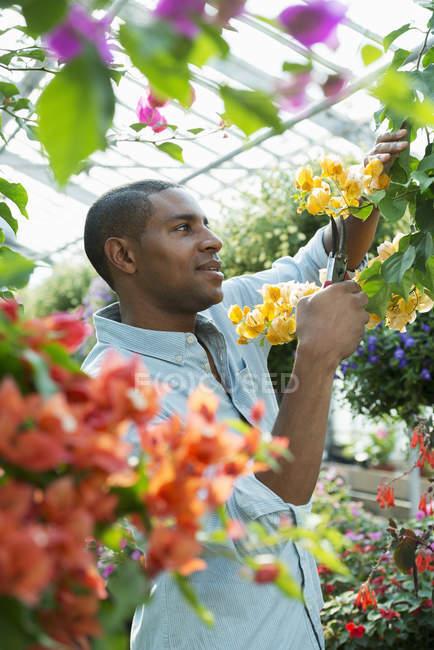 Galhos de poda de homem com flores em estufa de viveiro — Fotografia de Stock