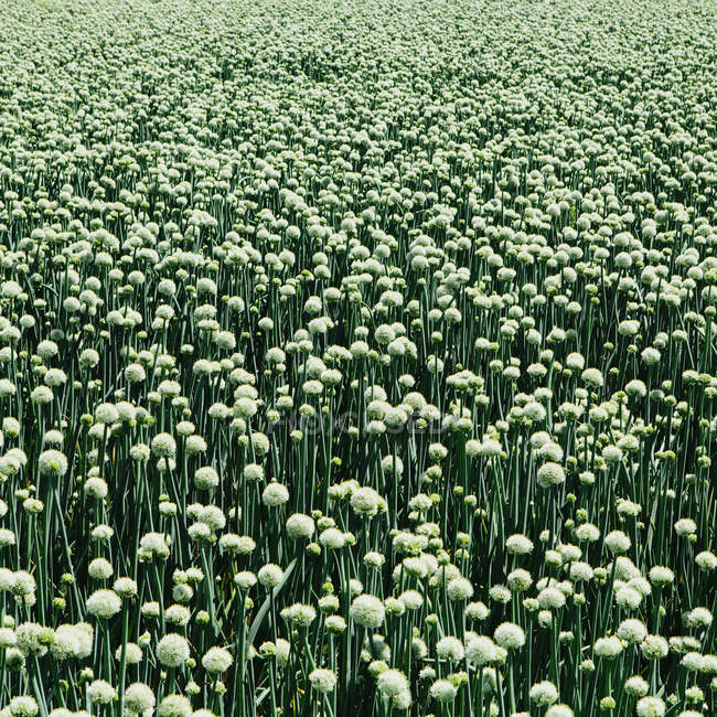 Field of crops of blooming Walla Walla sweet onions, full frame — Stock Photo