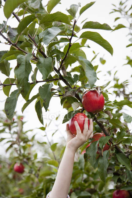 Female arm picking red apples from fruit tree in orchard. — Stock Photo