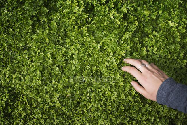 Mano femminile accarezzando il fogliame verde di coltivazione di piante. — Foto stock