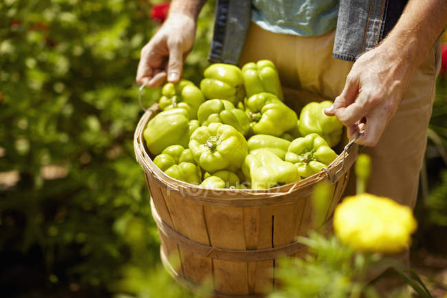Cropped view of man carrying full basket of green bell peppers. — Stock Photo