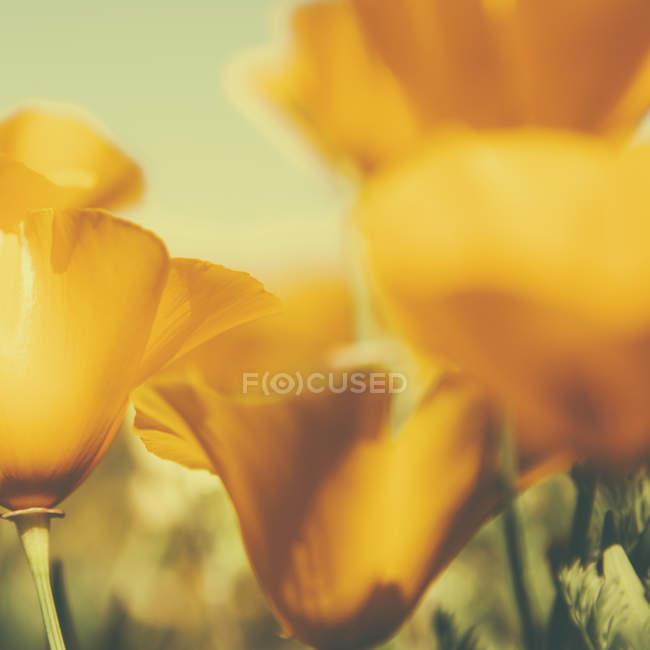 Close-up of yellow California poppy flowers in sunlight. — Stock Photo