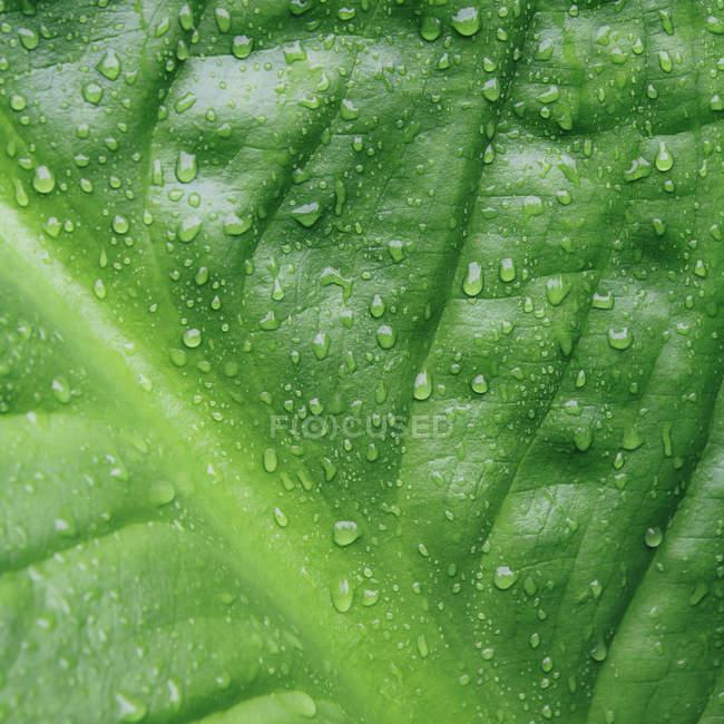Крупный план капель воды на зеленом листке капусты Скунс — стоковое фото