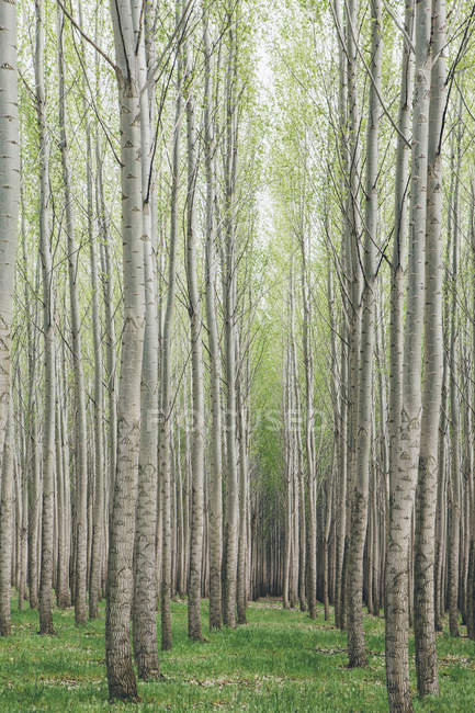 Poplar tree plantation with growing straight trees with white bark in Oregon, USA — Stock Photo