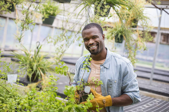 Man in protective gloves tending young plants in glass house on organic farm. — Stock Photo