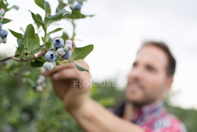 Man picking fresh blueberries at organic fruit orchard. — Stock Photo