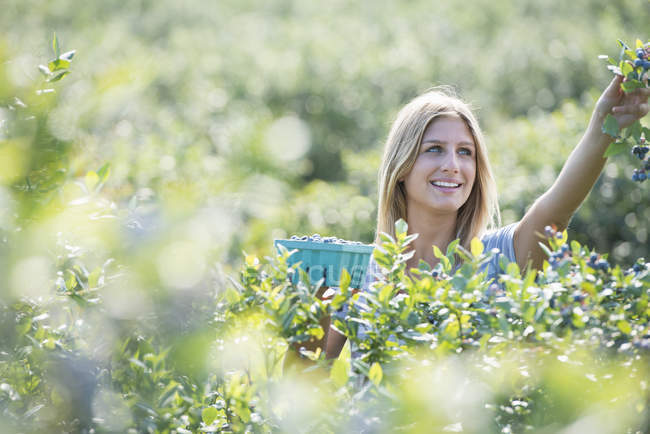 Young woman picking fresh blueberries from organic plants in field. — Stock Photo