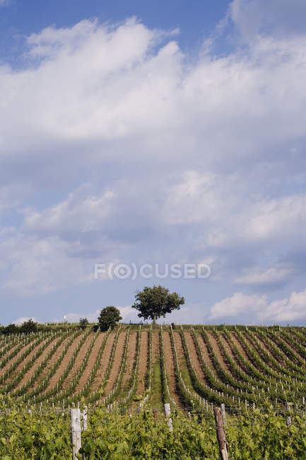 Vineyard and trees in Tuscany, Italy, Europe — Stock Photo