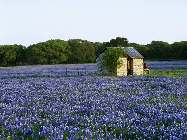 Stone shed in field of bluebonnets in Marble Falls, Texas, USA — Foto stock