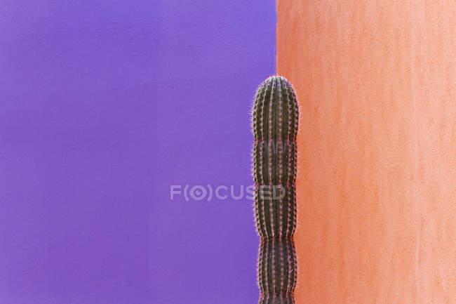 Cactus growing against contrasting two-colored walls — Stock Photo