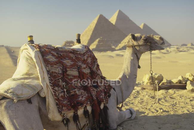Camello y pirámides en el desierto, Giza, Egipto - foto de stock