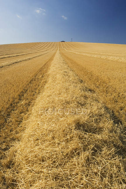 Harvested field with golden wheat and tractor tracks — Stock Photo