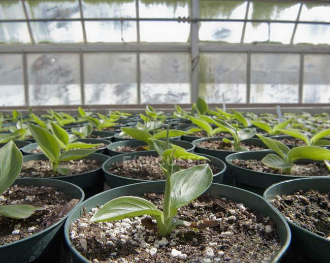 Primo piano dei germogli verdi in vasi da serra al chiuso — Foto stock