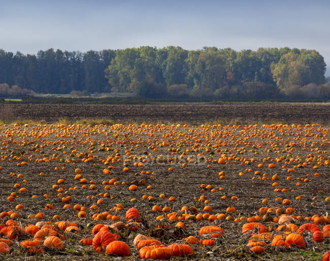 Pumpkin field full of vegetables in autumn season, Portland, Oregon, USA — Stock Photo
