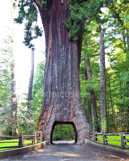 Lustre drive thru sequoia árvore na Califórnia, EUA — Fotografia de Stock