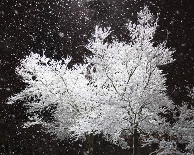 Свежевыпававснег и освещенные ветви деревьев, черно-белые — стоковое фото