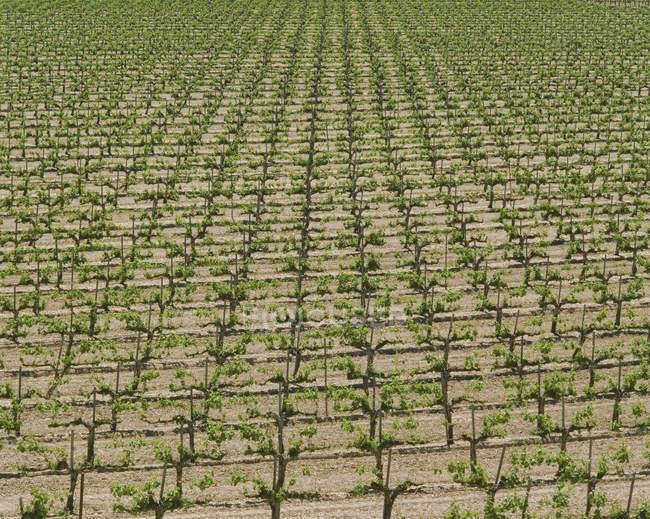 Hileras de vides de uva en California, EEUU - foto de stock