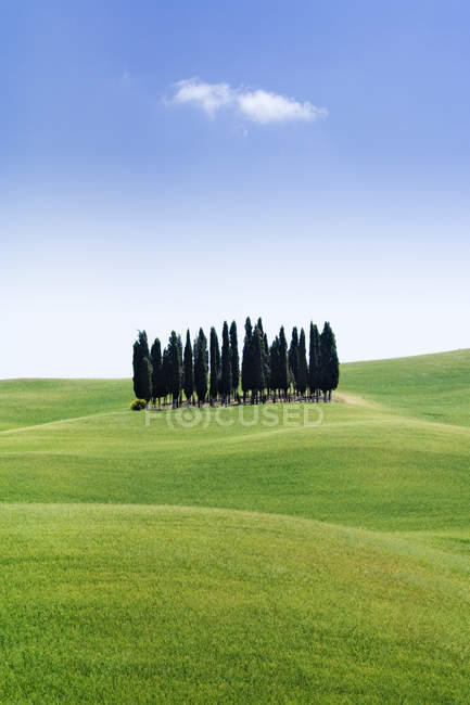 Stand of cypress trees in rolling meadow in Tuscany, Italy, Europe — Stock Photo
