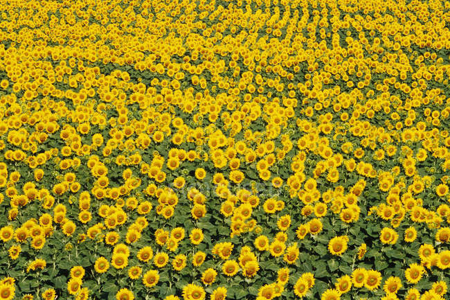 Field of bright yellow sunflowers, full frame — Stock Photo