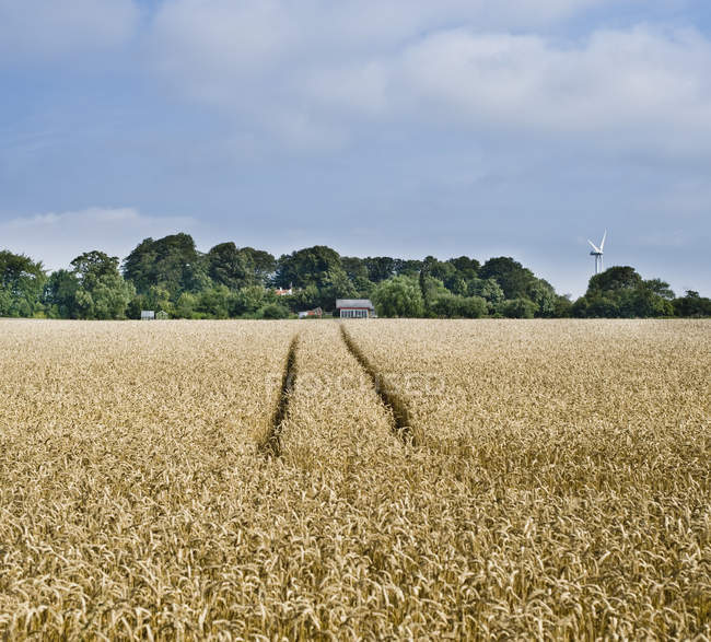Rye field with tractor tracks in countryside — стокове фото
