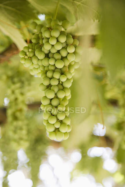 Hanging green grapes, close-up, selective focus — Stock Photo