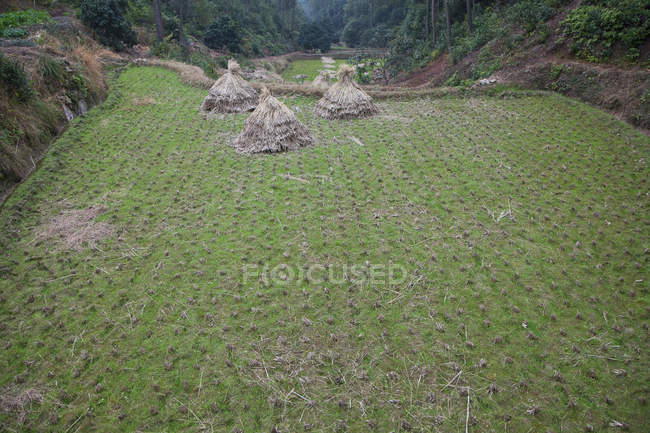 Dried hay stacks in cleared grass field — Stock Photo