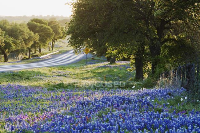 Blue bonnets flowers in field near countryside road — Stock Photo