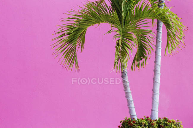 Palm trees on pink wall background — Stock Photo