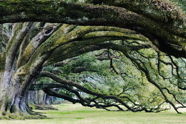Old growth trees with huge branches in Louisiana, USA — Stock Photo