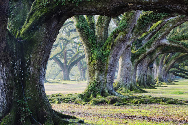 Moss covered trees in woods of Louisiana, USA — Stock Photo