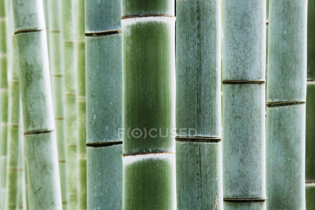 Close-up of green thick bamboo stalks in traditional forest in Kyoto, Japan — стокове фото