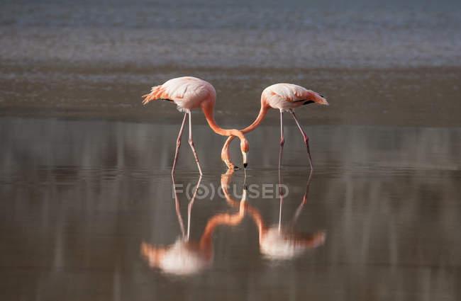 Uccelli fenicotteri che si nutrono mentre riflettono in acque tranquille del lago — Foto stock