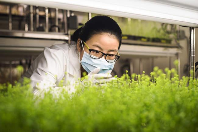 Азиатский ученый изучает растения в научной лаборатории — стоковое фото