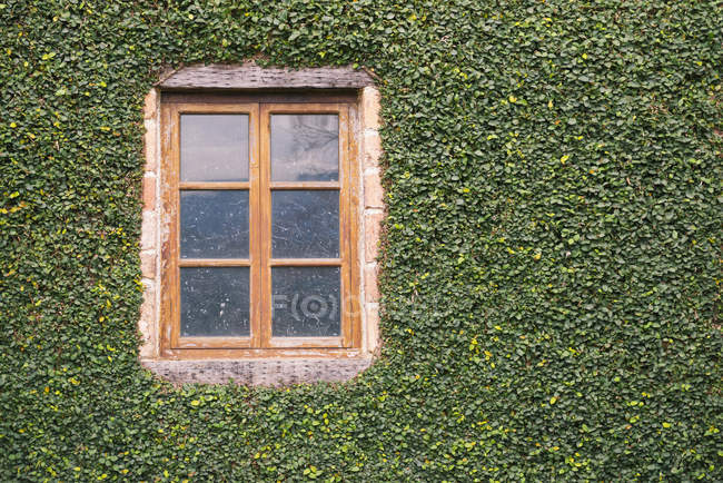 Вікна на Плющ покриті зеленої стінки будівлі, повний кадр — стокове фото