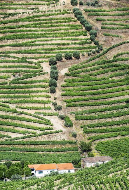 Fileiras do vinhedo, campo e casas de exploração agrícola na paisagem rural — Fotografia de Stock