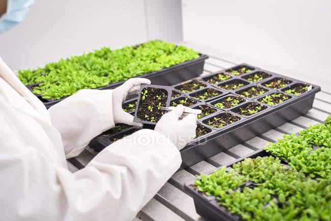 Ученый, изучающий молодые зеленые растения в ботанической лаборатории . — стоковое фото