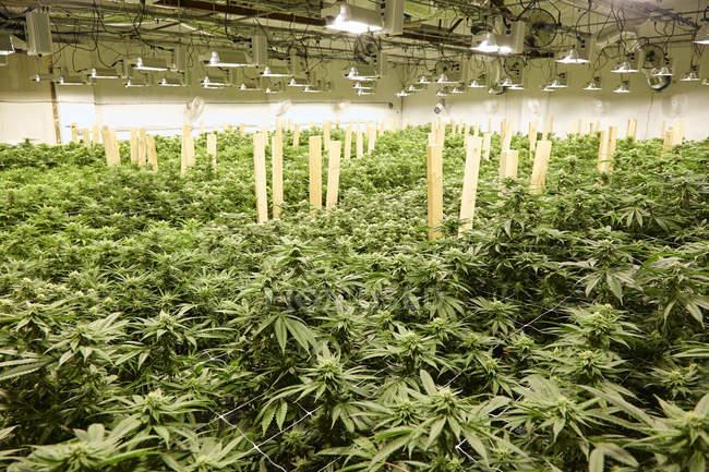 Piante da cannabis che crescono in serra, medicina e concetto di coltivazione legale . — Foto stock