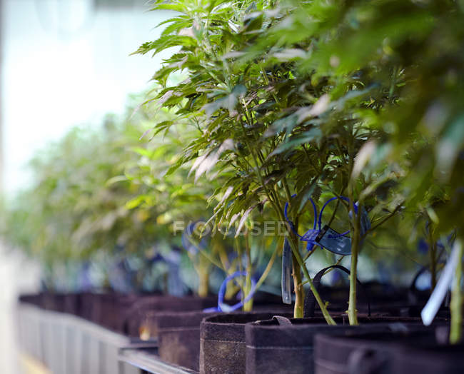 Рослини коноплі ростуть в оранжереї, медицині та юридичному зростанні.. — стокове фото