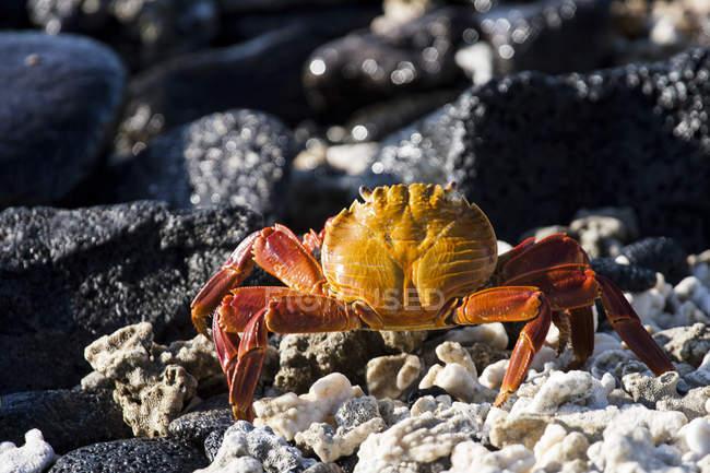 Plan rapproché de crabe marchant sur la plage rocheuse — Photo de stock