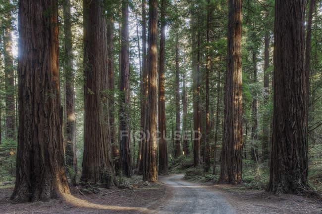 Arbres poussant dans la forêt de parc d'état, Californie, États-Unis — Photo de stock
