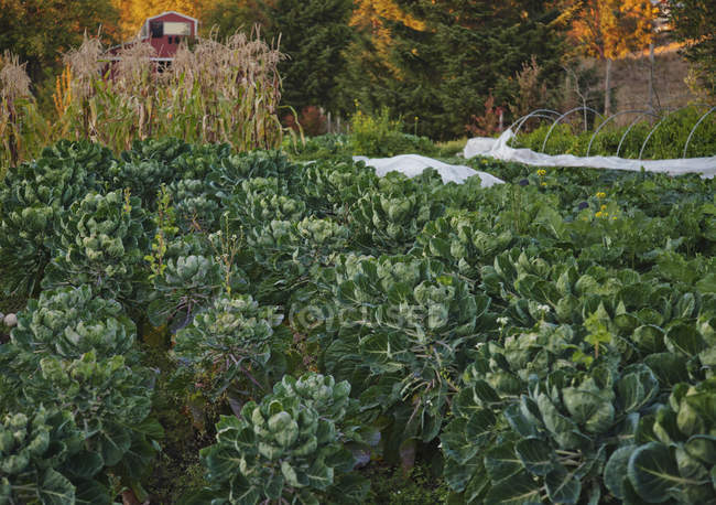 Rows of plants growing in vegetable garden — Stock Photo