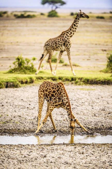 Jirafa doblando mientras se bebe en el pozo de agua en Africa - foto de stock