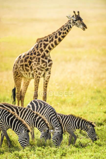 У африканській савані — стокове фото