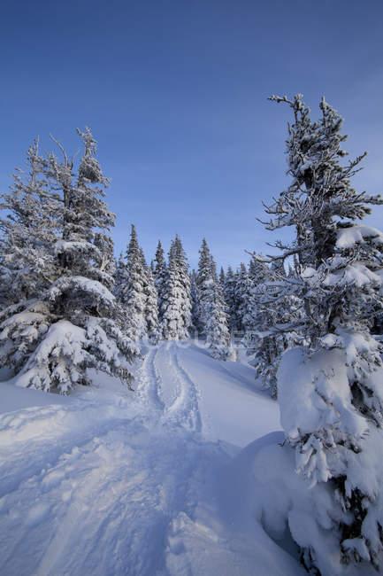 Треки и деревья на заснеженных склонах в лесу зимой — стоковое фото