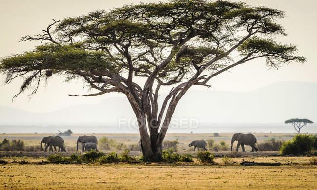 Elefantes bajo los árboles en el paisaje de la sabana escénica - foto de stock